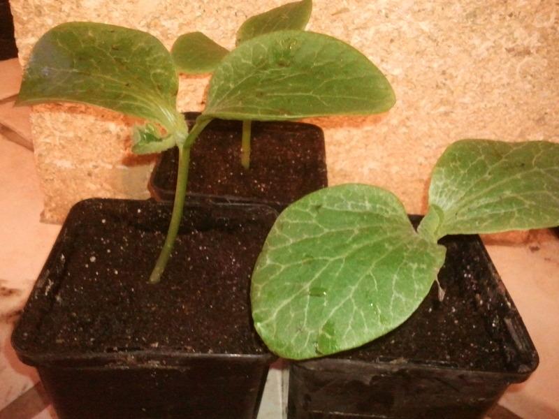 Mes premiers semis de potirons - Planter des graines de potiron ...